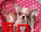 周口本地狗场吉娃娃犬销售,本地狗场几十个品种