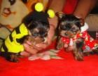 深圳铃铛狗场出售多种宠物狗 纯种约克夏价格