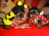 佛山铃铛狗场出售多种宠物狗 纯种约克夏价格