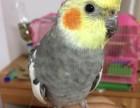 转让手养的玄凤鹦鹉幼鸟 可爱亲人