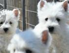 珠海哪里卖宠物狗 西高地梗什么地方有的卖 纯种西高地犬
