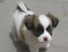 听话可爱的小蝴蝶犬自家养的,找爱心人士收养