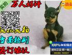 超漂亮的小鹿犬-100%纯种好品相 火热销售