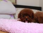 自家大狗生了一窝泰迪犬可以上门看狗父母