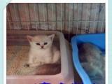 CFA皇家猫舍出售 渐层猫协议质保三个月京津冀送货