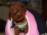 昆明哪里有卖泰迪犬昆明买狗去哪里,昆明泰迪犬价格