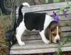 赛级比格幼犬出售中 驱虫 防疫已做完 健康有保障