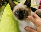 出售纯种健康蓝眼睛泰国暹罗猫短毛猫 活泼可爱的暹罗猫