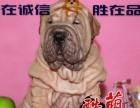中山沙皮狗犬舍哪里有卖沙皮狗哪里有卖宠物狗