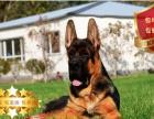 精品锤系大头德国牧羊幼犬带血统证书 种公可对外