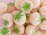 辽宁草莓苗供应商 业界口碑良好