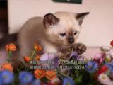 最大猫舍 暹罗猫 纯种健康多只出售超可爱的挖煤工