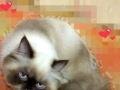喜马拉雅猫猫