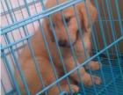 多种颜色的赛级金毛幼犬寻找主人微信咨询视频看狗