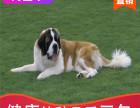 本地出售纯种圣伯纳幼犬,十年信誉有保障