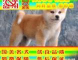 常年出售纯种健康精品秋田犬专业缔造完美品质签协议