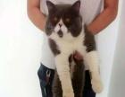 山西太原萌猫生活馆--高品质英短蓝猫找新家