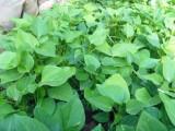 大量商薯19红薯苗,济薯26红薯苗现苗