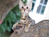 广东广州纯种豹猫幼崽特价转让