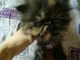 纯黑加菲公猫一只!!买送加菲母猫一只!!