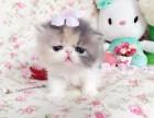 大脸加菲猫出售纯种品相极好超萌超可爱高贵优雅善解人意
