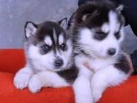上海萌宠哈士奇西伯利亚雪橇犬 冠军品质繁育 可上门挑选