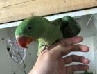 出售亚历山大鹦鹉 和尚鹦鹉 鹩哥 金太阳鹦鹉 吸蜜鹦鹉