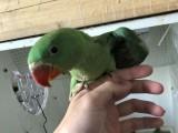 出售亚历山大鹦鹉 金太阳鹦鹉 吸蜜鹦鹉 小太阳鹦鹉