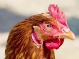 海兰褐青年鸡鹤壁养殖户海兰褐青年鸡包送价