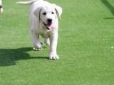 珠海拉布拉多出售 珠海拉布拉多犬舍 珠海黑色拉布拉多怎么卖