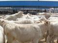 北方肉牛品种(西门塔尔牛)
