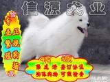 """八折优惠 萨摩犬 当时化验健康""""签协议"""