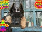 纯种德国牧羊犬赛级德牧锤系德牧质保三年品质保证