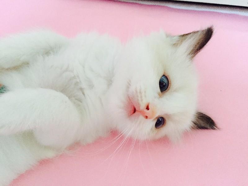 纯种布偶猫出售,父母来自海外!!