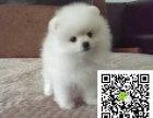 r哈多利球体博美俊介犬,带健康证书 签协议包纯种