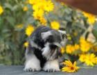 家养一窝纯种雪纳瑞可以签协议 来家里看狗父母