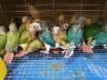 长期出售各类热手鹦鹉,零售,批发均可