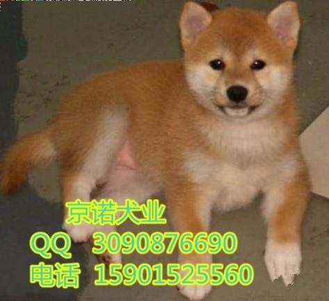 北京哪卖柴犬 柴犬好养吗 黑色柴犬 欢迎来场看狗