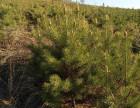 1.5米到2.5米定值樟子松,营养杯樟子松,吉林慧良苗木