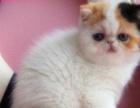纯种加菲猫出售 驱虫疫苗已做,可协议质保