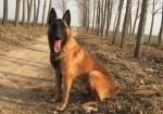 出售精品马犬 纯种爆红马 黑马 价格优惠 送狗狗用品