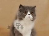 超可爱波斯猫出售 疫苗驱虫已做 保证纯种健康超可爱