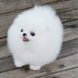 养殖场直销一品种齐全一 出售精品博美犬 一签订保障协议
