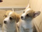 纯种柯基幼犬2个多月妹妹大三通黄白双色小短腿大屁股