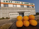 日本柚子汁 柚子糖漿 青柚泥 金盆柚
