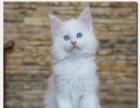 纯白缅因猫双蓝眼