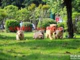 南京金毛怎么卖的 南京纯种金毛犬的价格是多少 金毛的价格