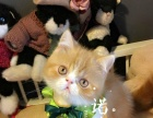 水滴眼 眼鼻一线 红乳加菲猫,可以上门看猫哦
