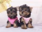 纯种约克夏幼犬宝宝出售 品质可靠 疫苗齐全