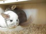 低价转让几只繁殖的龙猫